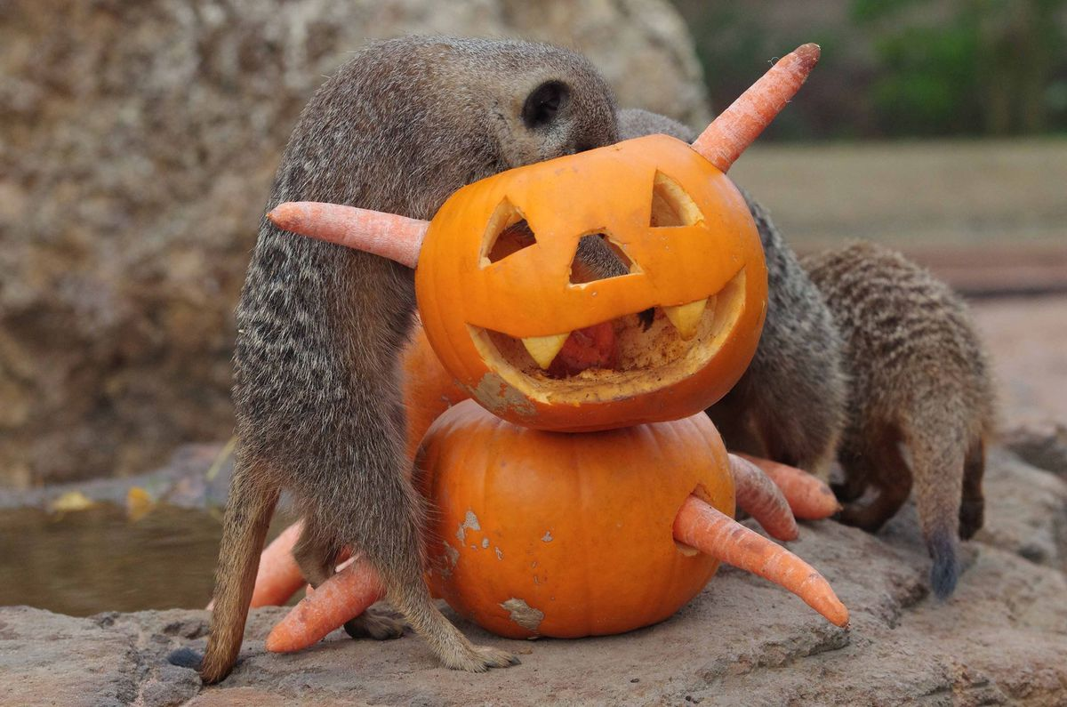 Meerkats enjoying pumpkins