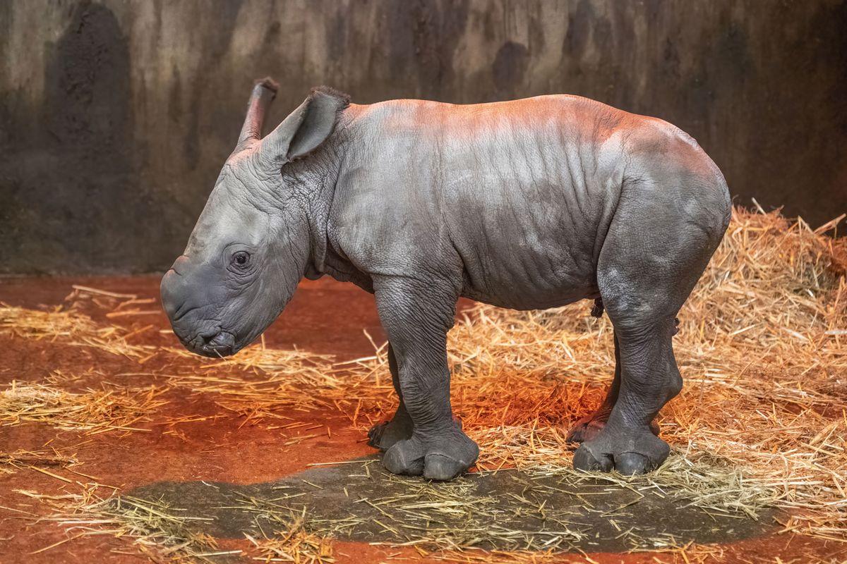 West Midland Safari Park has announced the arrival of a new white rhino calf