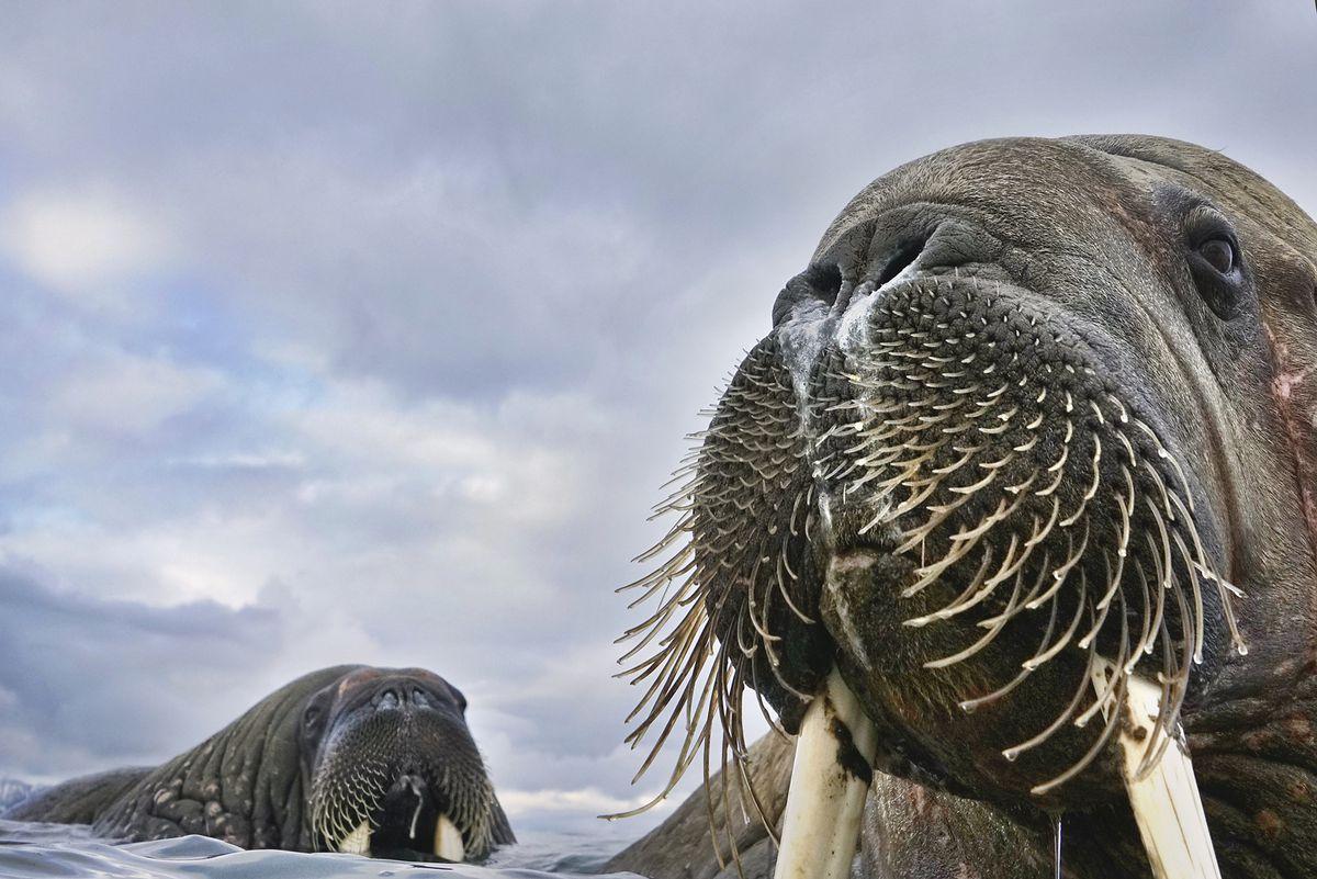 A small colony of walruses in the Svalbard islands. Photo: Valter Bernardeschi