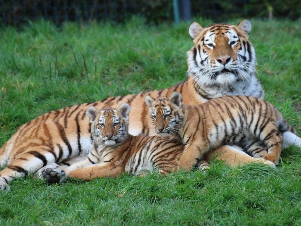 Endangered tiger cubs to get first public showing at ...