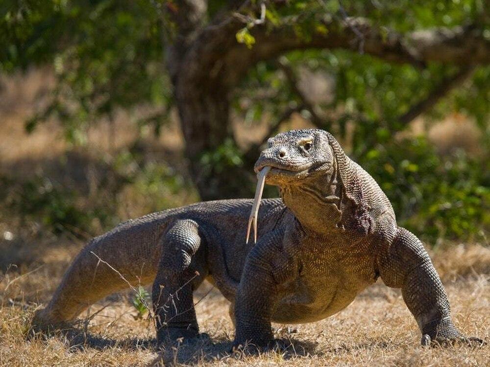Komodo Dragon: Four Baby Komodo Dragons Have Hatched At San Antonio Zoo