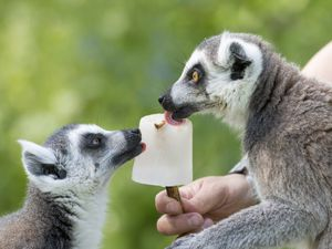 Bakari and Biana the ring-tailed lemurs enjoy an ice lolly treat for the hot weather