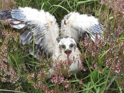Hen harrier chicks take flight in Angus Glens