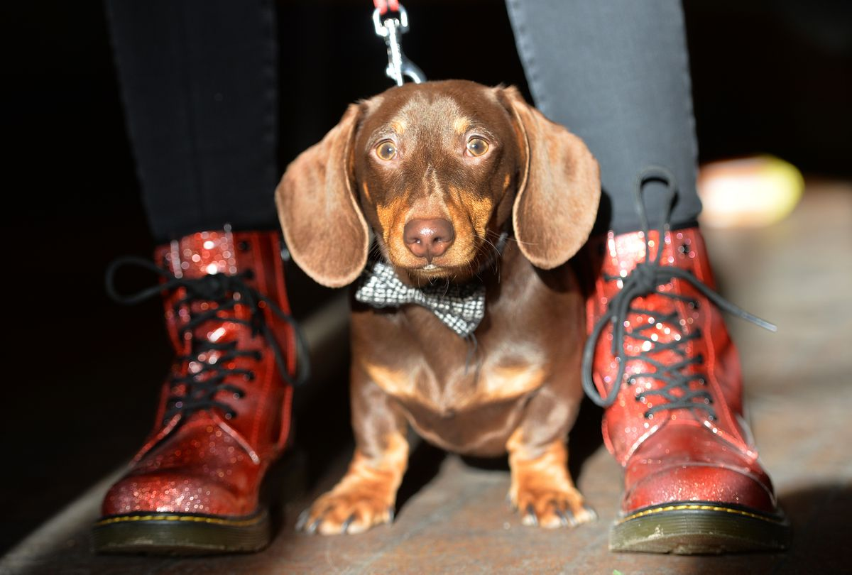 Dachshund Pop Up Cafe at Revolution, Pictured, Slinky gets the boot