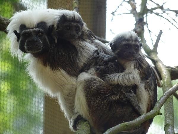 Drayton Manor Zoo welcomes endangered baby tamarins