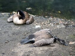 Smethwick pool closed off after geese deaths