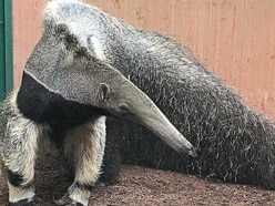 Male anteater arrives at Dudley Zoo