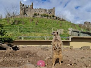 One of Dudley Zoo and Castle's meerkats on the lookout for visitors ahead of their reopening on April 12