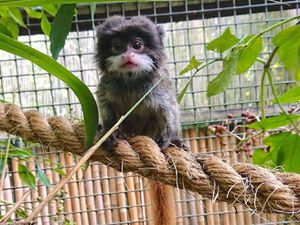 Marmite, the baby Emperor tamarin, born at Dudley Zoo and Castle