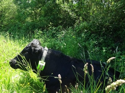Herd 'moo-vements' tracked with GPS to monitor impact on new woodland