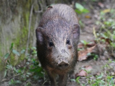 World's smallest and rarest wild pigs put in virus lockdown