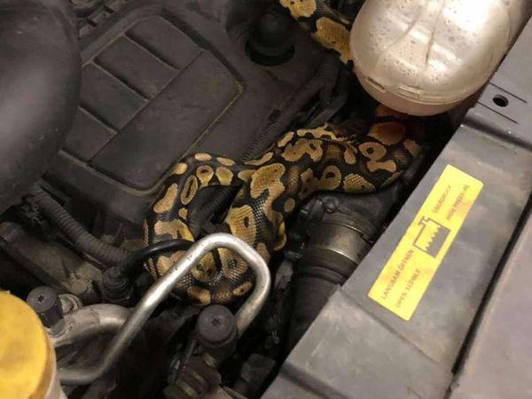 The python
