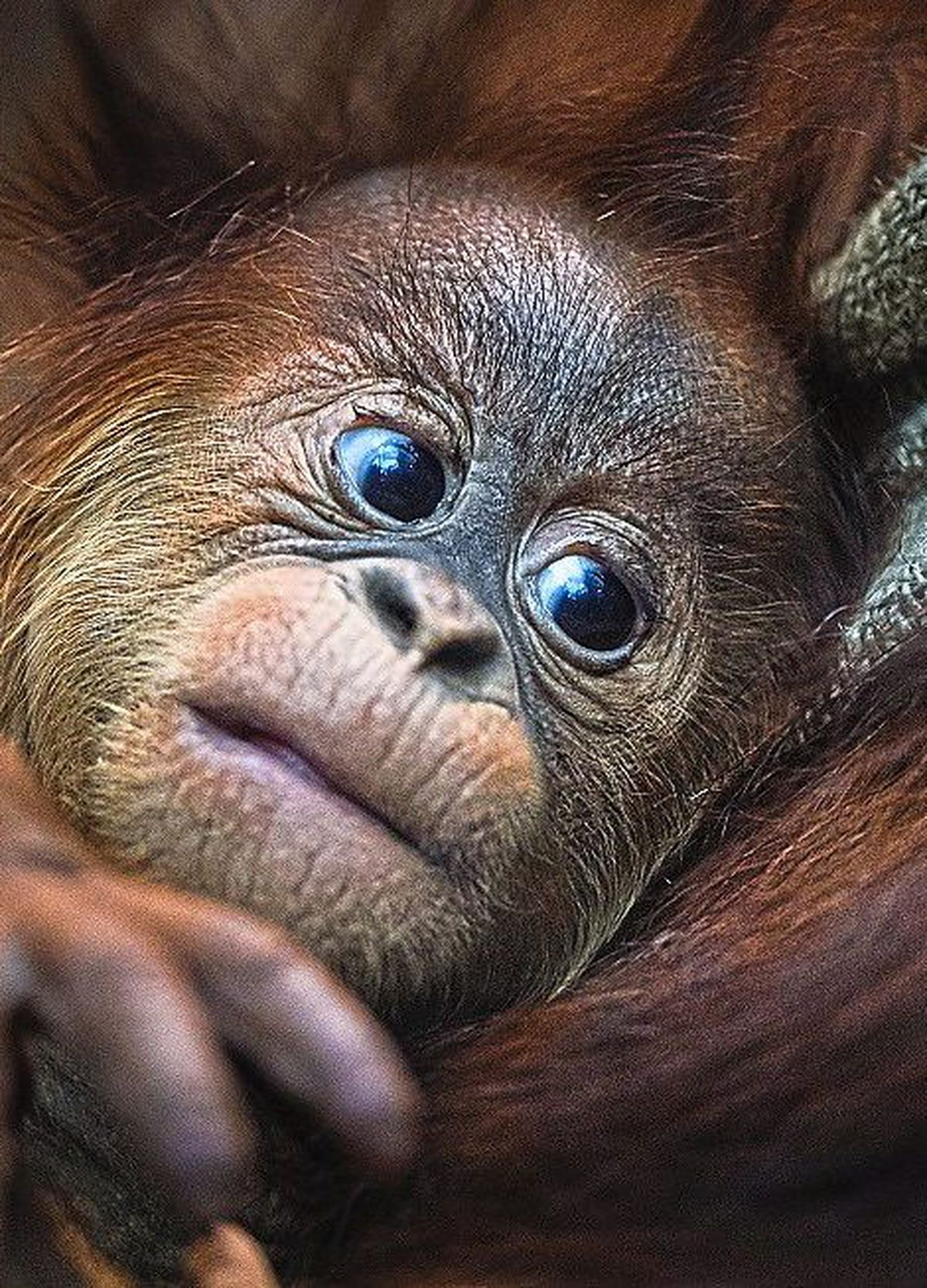 A Sumatran orangutan enjoys a quiet and cosy moment with mum at Chester Zoo