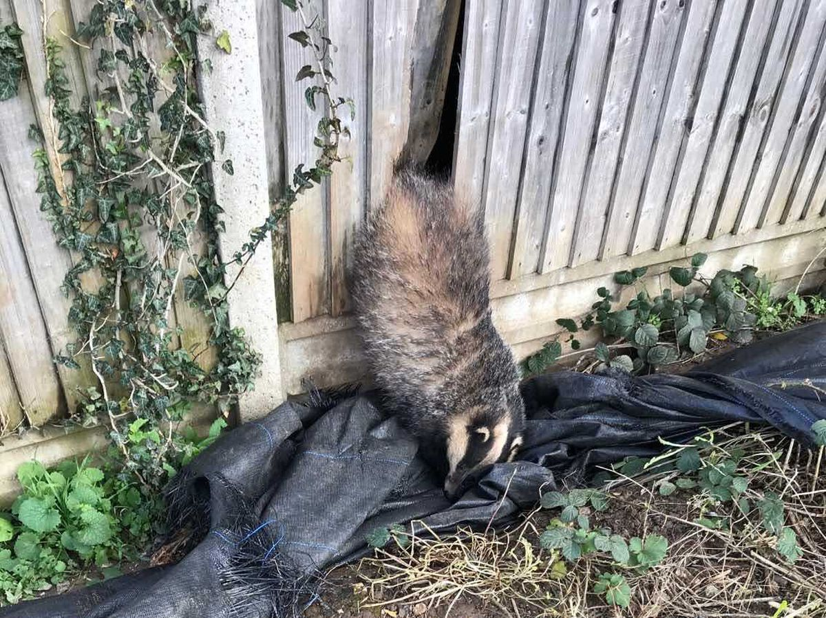 Badger stuck in fence