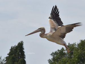 The baby pelican has gotten out of WILD Zoological Park