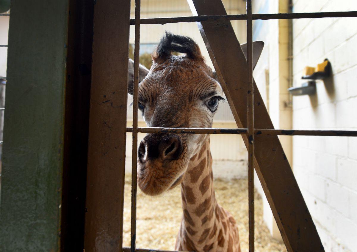 Baby giraffe born at Dudley Zoo