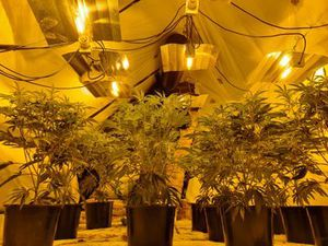 The cannabis grow found in Walsall Road, West Bromwich. Photo: West Bromwich Police @WestBromwichWMP