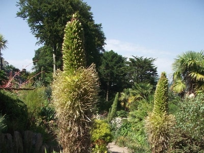 Rare chance to see 'century plant' bloom at National Trust gardens