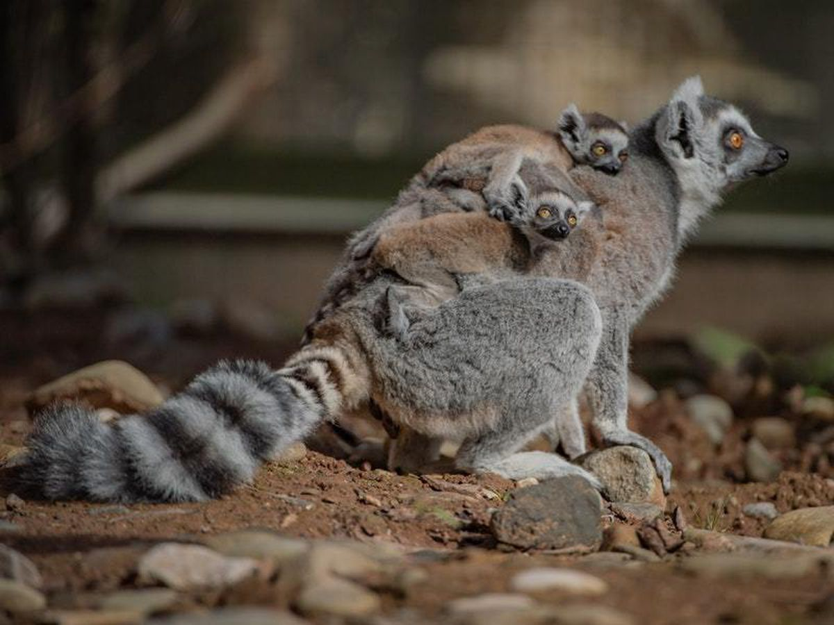 Lemurs at Chester Zoo
