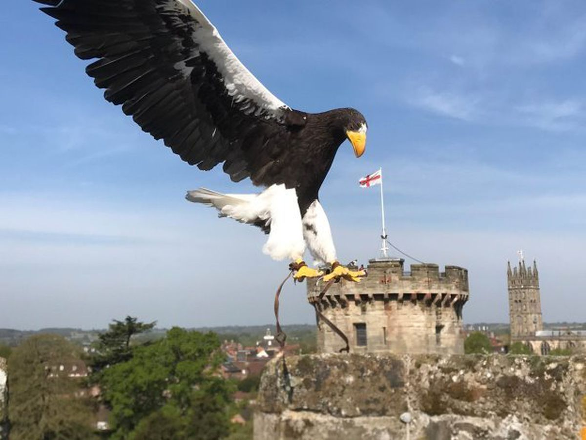 Marvin the Steller's sea eagle takes to the skies above the castle ramparts in an alternative flypast to celebrate the 75th anniversary of VE Day at Warwick Castle