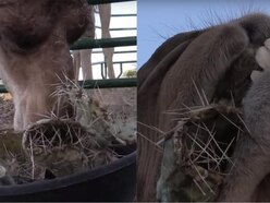 You won't be able to watch these camels chowing through cacti without wincing