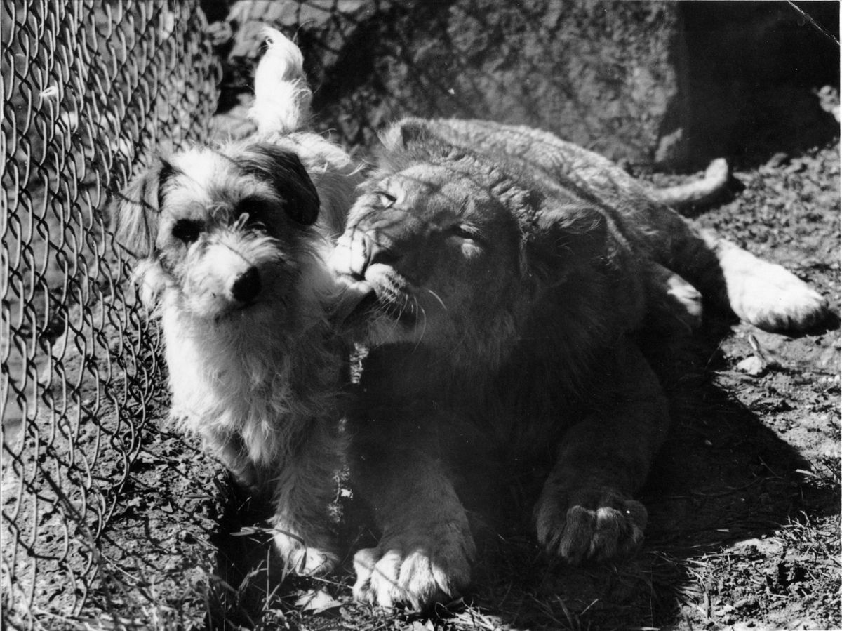 They say a dog is a man's best friend. Well, in this case, it became apparent that a dog can be friends with any animal. In 1942, a 15-month-old lion attracted a huge amount of attention after developing an unlikely companion - Peter the dog.