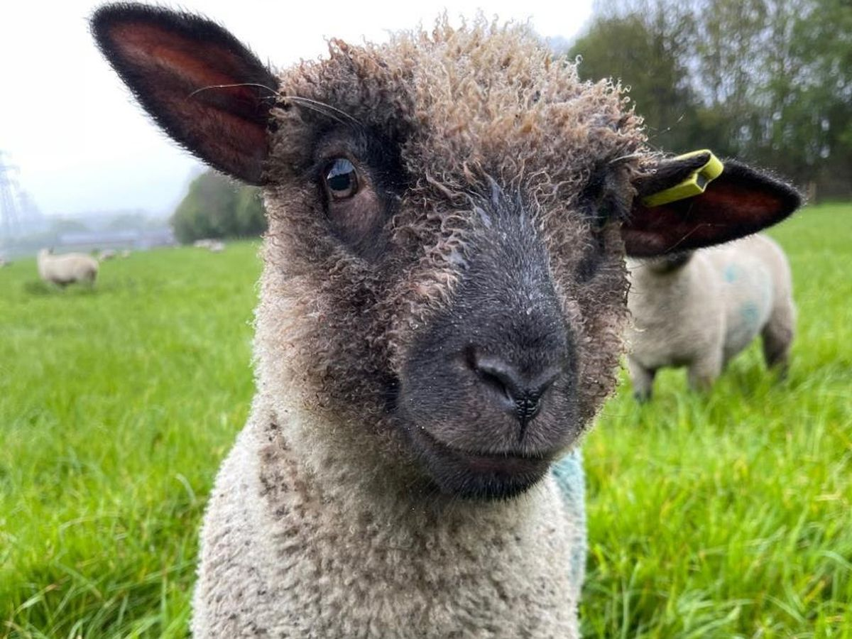 One of the stolen lambs