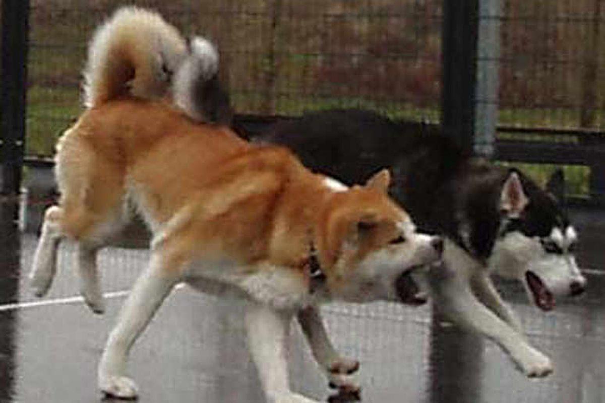 Veterinary nurse attacked by eight-stone Japanese Akita dog