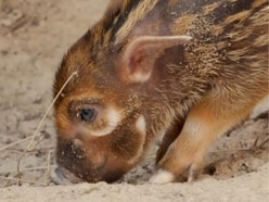 This newborn red river hog will be the cutest thing you see all day