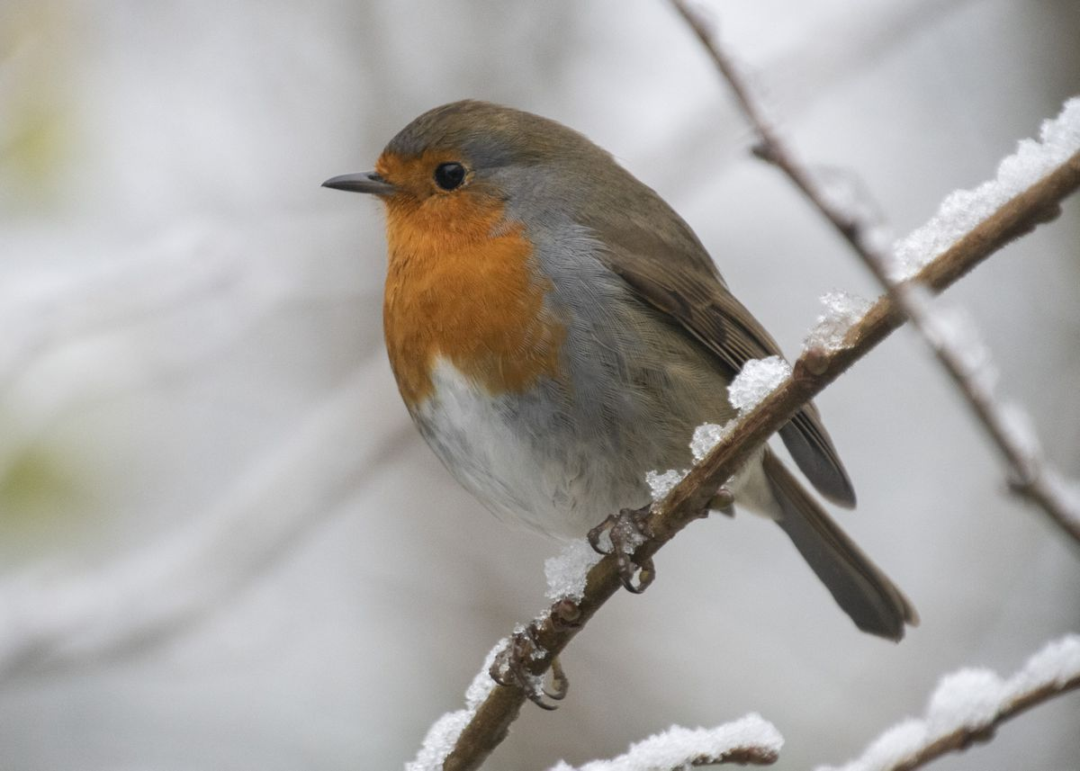 A robin at Sandwell Valley. Pic: Michelle Walker.