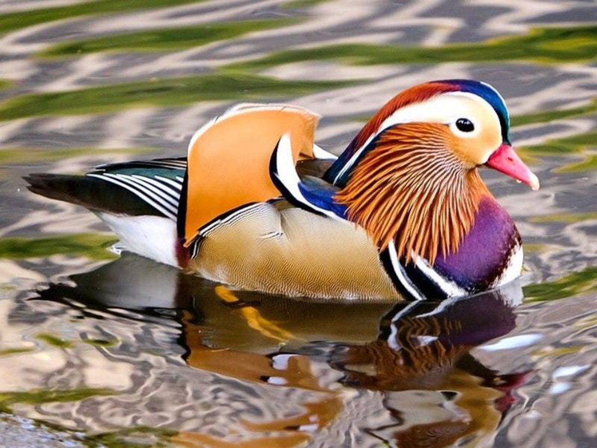 Mandarin duck spotted in New York City