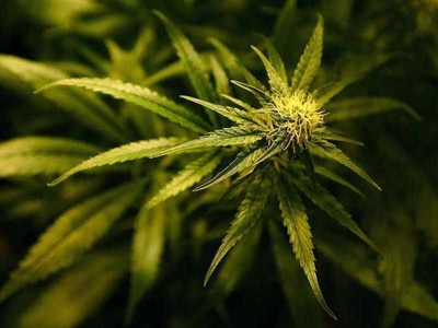 Express & Star comment: We must look at all evidence over Cannabis