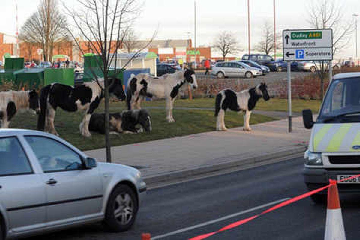Horses roaming outside Brierley Hill Asda