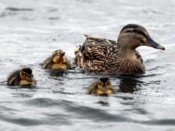 This mum gave every duckling in her local park hilarious personalised names