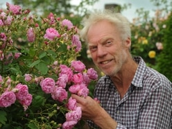It's another gold for David Austin Roses
