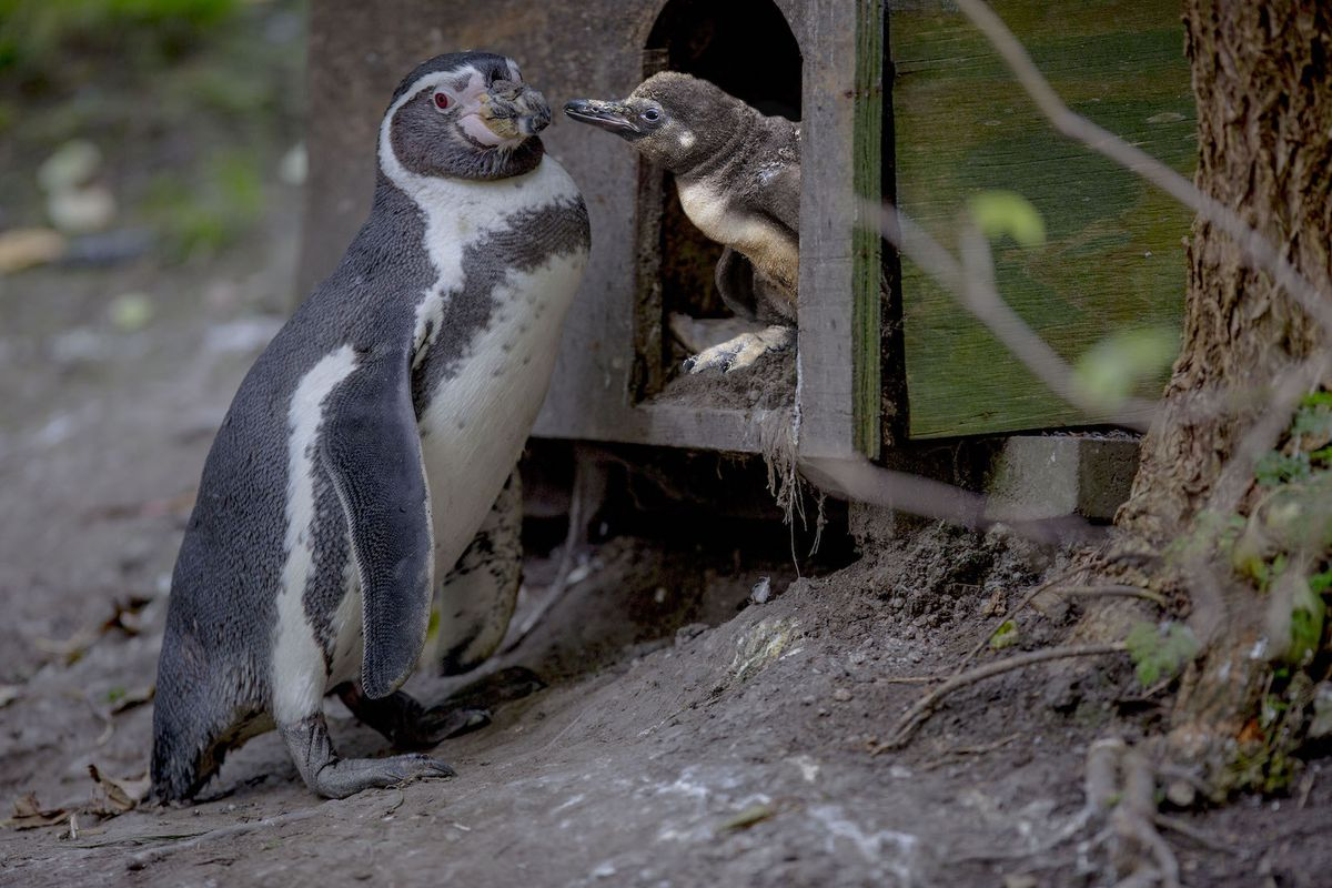 Baby penguin at Dudley Zoo