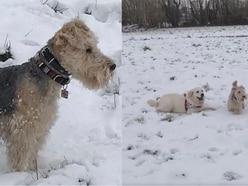 Watch Bertie the Lakeland terrier living his best life in the snow