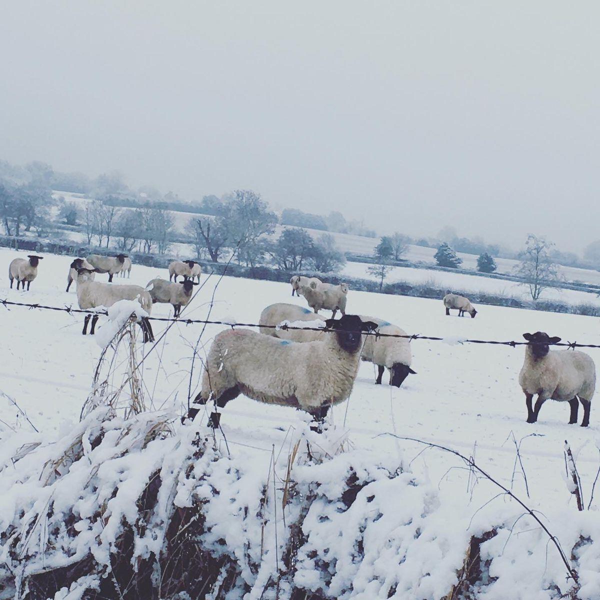 Shivering sheep by Karen Hilditch