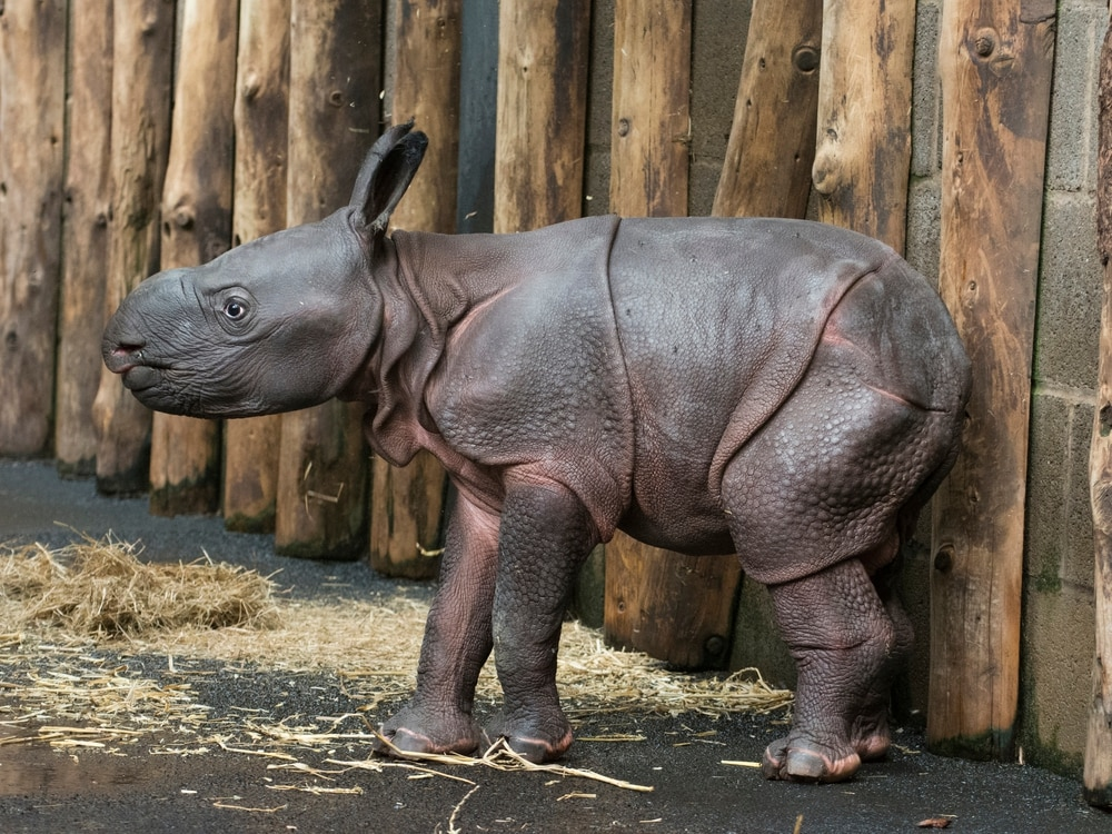 West Midland Safari Park announces historic birth of baby Indian rhino
