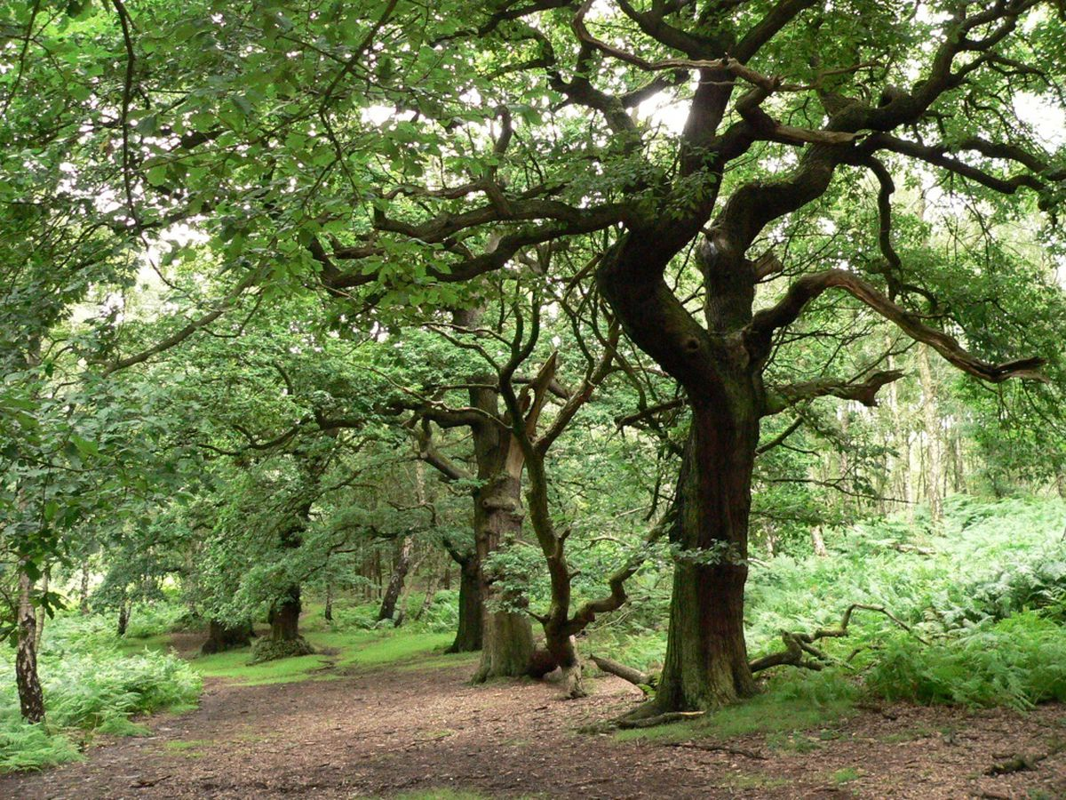 The ancient trees on Brocton Coppice are at risk due to illegal trails being dug