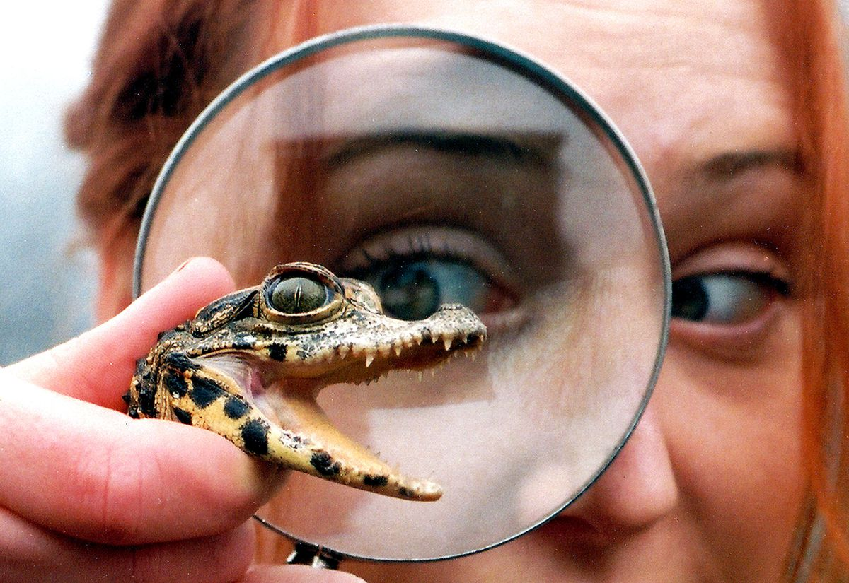 Going croc-eyed with a newly hatched crocodile at Dudley Zoo