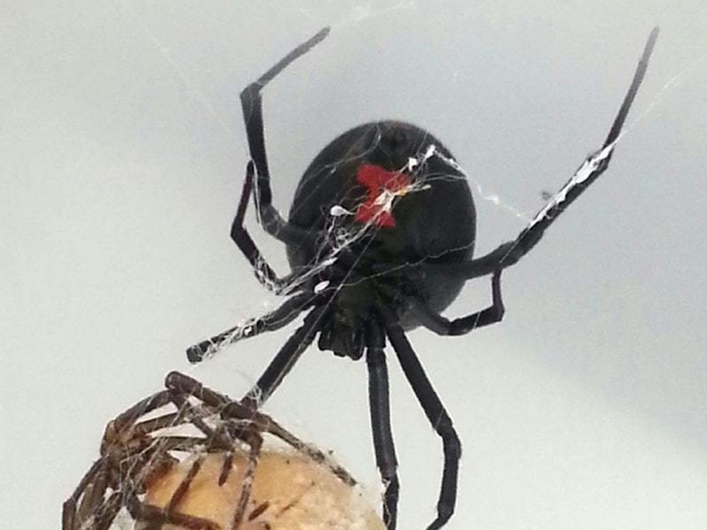 are black widow spiders deadly - 1000×750