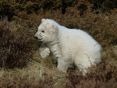 Polar bear cub helps almost double visitor numbers at wildlife park