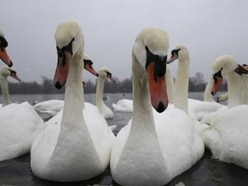 Volunteers patrol London parks after swans and cygnets 'stabbed and beheaded'