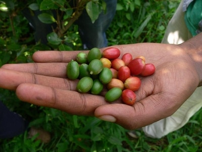 More than half of wild coffee species threatened with extinction, study finds