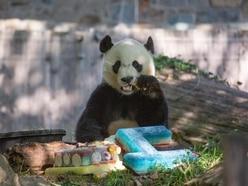Panda enjoys celebrates fourth birthday with frozen cake