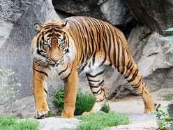 Dudley Zoo-born Sumatran tiger Jambi dies in Edinburgh