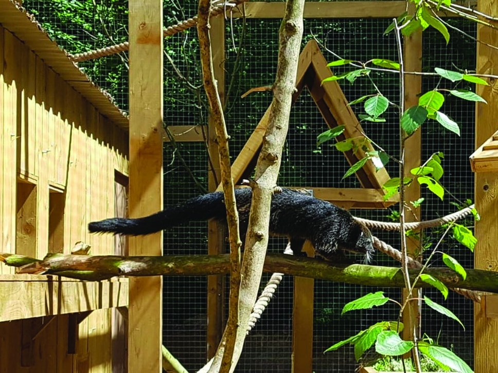 Binturong arrives at Dudley Zoo
