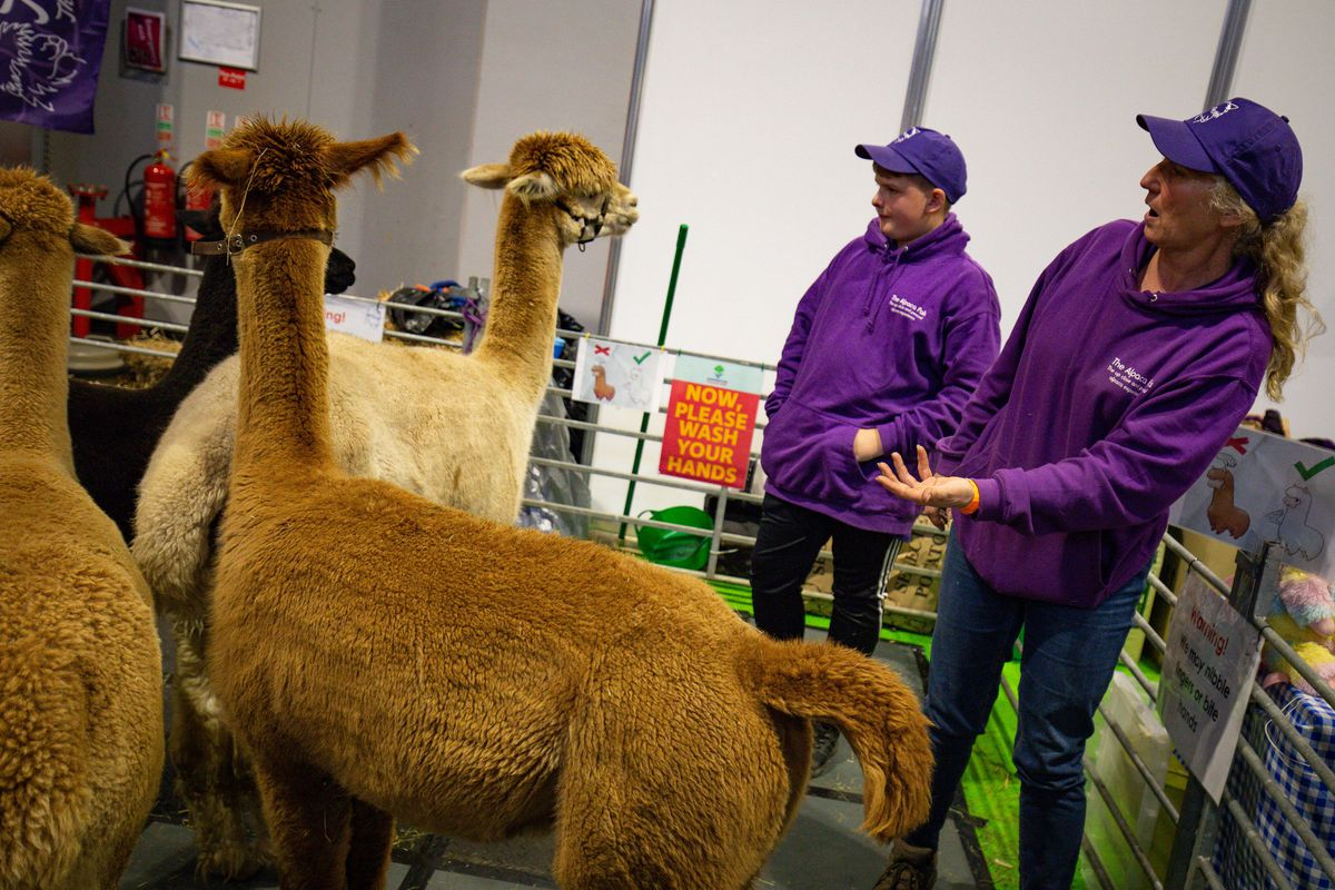 Alpacas on show at the National Pet Show at the NEC, Birmingham. PA Photo. Picture date: Sunday November 3, 2019.  Photo credit should read: Jacob King/PA Wire.