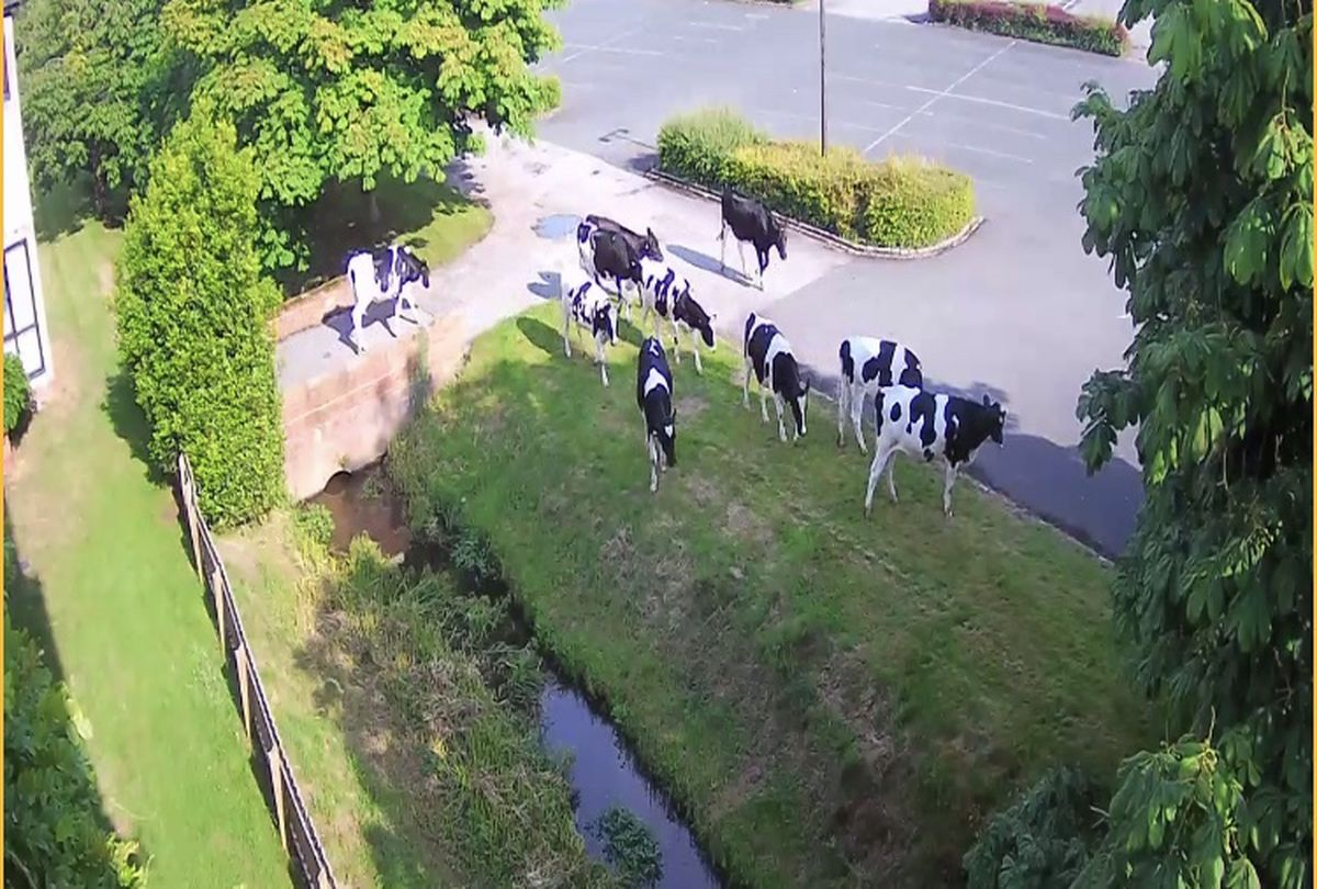 The cattle crossing the car park to pay a visit